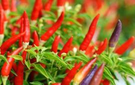 Quy trình chăm sóc cây ớt