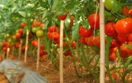 Cách chăm sóc cây cà chua ra nhiều quả