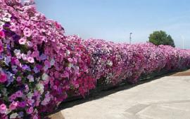 Những cây trồng hàng rào đẹp và cách chăm sóc